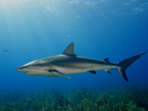 Caribbean Reef Shark At La Jardin De La Reina, Cuba. Royalty Free Stock Photo