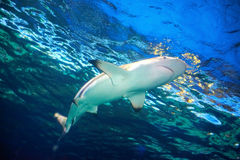 Caribbean reef shark Stock Image
