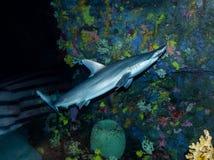 Caribbean Reef Shark  Carcharhinus Perezii. The Caribbean reef shark Carcharhinus perezii is a species of requiem shark, belonging to the family Carcharhinidae stock image