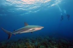 The Caribbean reef shark Carcharhinus perezii Royalty Free Stock Photos