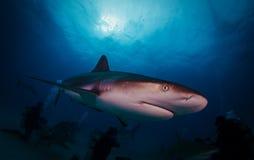 Caribbean Reef Shark Stock Image