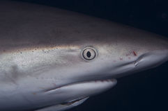 Caribbean Reef Shark. A close up of a Caribbean Reef Shark stock photos