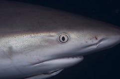 Caribbean Reef Shark stock photos