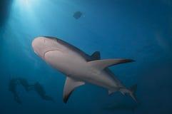 Caribbean Reef Shark royalty free stock photography
