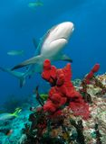 Caribbean reef shark. stock photo