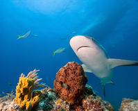 Caribbean reef shark. And coral reef Stock Photography