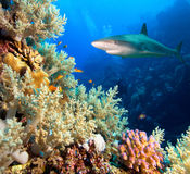 Caribbean reef shark. And coral reef stock image