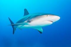 Caribbean reef shark. Grey reef shark swimming towards the camera in the Bahamas. December Stock Image