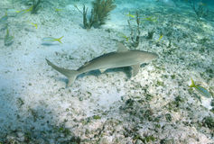 Caribbean reef shark in its natural habitat Stock Image