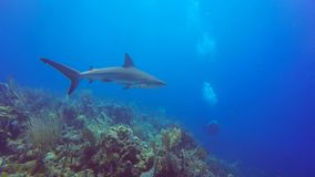 Caribbean reef shark in Jardin de la Reina, Cuba stock video footage