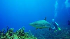 Caribbean reef shark in Jardin de la Reina, Cuba stock footage