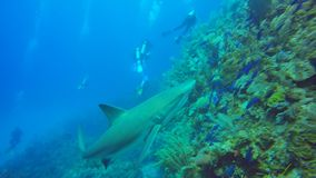 Caribbean reef shark in Jardin de la Reina, Cuba stock video