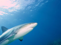 Caribbean reef shark at La Jardin de la Reina, Cuba. Royalty Free Stock Images