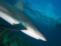 Caribbean reef shark at La Jardin de la Reina, Cuba. Stock Photos