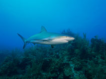Caribbean reef shark at La Jardin de la Reina, Cuba. Stock Photography