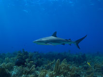 Caribbean reef shark at La Jardin de la Reina, Cuba. Royalty Free Stock Photography