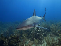 Caribbean reef shark at La Jardin de la Reina, Cuba. Stock Photo