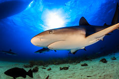Caribbean reef shark over the reef in Bahamas Stock Images