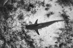 Caribbean reef shark over the reef royalty free stock photos