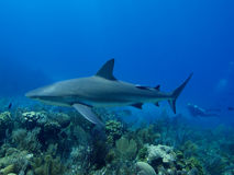 Caribbean reef shark swimming over stunning reef in Cuba's Jardin de la Reina. Caribbean reef shark swimming over stunning reef, with a diver in the electric Royalty Free Stock Images