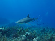 Caribbean reef shark swimming over stunning reef in Cuba's Jardin de la Reina Stock Photos