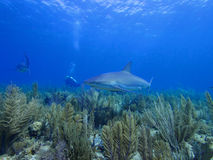 Caribbean reef shark swimming over stunning reef in Cuba's Jardin de la Reina Royalty Free Stock Photography