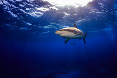 Caribbean reef shark swimming under the surface with sunbeams an Royalty Free Stock Image
