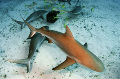 Caribbean Reef Sharks. A group of of Caribbean reef sharks circling around a bait box Royalty Free Stock Photography