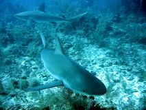 Caribbean Reef Sharks. Two sharks against coral ocean bottom Royalty Free Stock Image