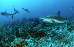 Caribbean reef sharks. Underwater view of caribbean reef sharks swimming over coral in blue sea Stock Images