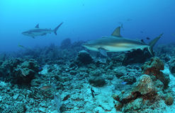 Caribbean reef sharks stock image