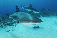 Caribbean Reef Sharks. Caribbean Reef Shark (Carcharhinus perezii stock photos