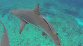 Caribbean reef sharks stock video footage