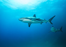 Caribbean Reef Sharks In Blue. Two predators are on the hunt in the waters off Nassau, The Bahamas Stock Images