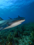 Caribbean reef sharks at La Jardin de la Reina, Cuba. Royalty Free Stock Photo