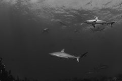 Caribbean Reef Sharks Royalty Free Stock Photography
