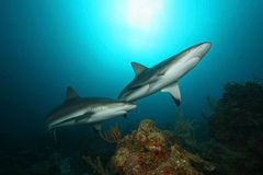 Caribbean Reef Sharks - Roatan. Pair of Caribbean Reef Sharks (Carcharhinus perezi) circling over a coral reef - Roatan, Honduras Royalty Free Stock Photo