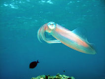 Caribbean Reef Squid. A translucent Caribbean reef Squid shows the irridescent colors of his ever-changing decoration. His spots of color appear like tiny pieces royalty free stock photography