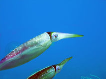 Caribbean Reef Squid. Two translucent Caribbean reef Squid show the irridescent colors of their ever-changing decoration.  Their spots of color appear like tiny Royalty Free Stock Photo