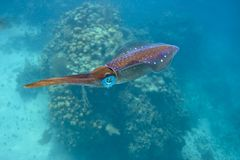 Caribbean reef squid Royalty Free Stock Image