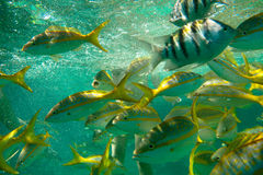 caribbean ryba Obrazy Royalty Free