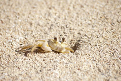 Caribbean sand crab. Sand crab in the Caribbean Royalty Free Stock Photo