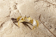 Caribbean sand crab defending Stock Photography