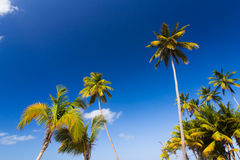 Caribbean scenery with palm trees. In Dominican Republic Stock Image