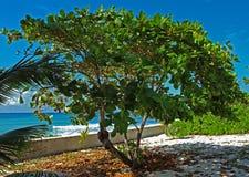Caribbean Sea Grape Tree Stock Photo