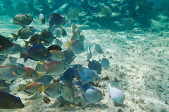 Caribbean sea life. A shoal of blue fishes in Caribbean Sea, Mexico Stock Photography