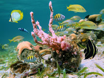 Caribbean sea life. Underwater scene with marine life of the Caribbean sea Royalty Free Stock Images