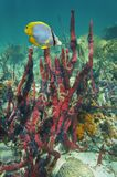 Caribbean sea red sponge with brittle stars. Underwater life in the Caribbean sea, red sponge with many brittle stars and a tropical fish royalty free stock photo