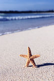 Caribbean sea star Stock Photography