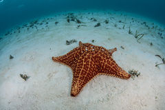Caribbean Sea Star 4. A sea star makes its way, slowly, across a shallow sand flat in the clear waters of the Caribbean Sea. Sea stars, also known as starfish Royalty Free Stock Images